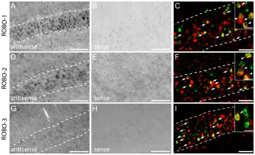 In Situ hybridization pattern of Robo-1,-2,-3 in the cortex.In situ hybridization of Robo-1 (A), Robo-2 (D) and Robo-3 (G) mRNA in the cortex. No signals are detected with the sense probes (B: Robo-1; E: Robo-2; H: Robo-3). Dotted lines in A, D, and G represent layer V. (C,F, I) Epifluorescence images of double-labeled neurons of layer V (Retrogradely-labeled CST neurons: green; In situ signal: red).Scale bars in A,B,D,E,G,H: 100 µm; Scale bars in C,F,I: 50 µm (25 µm in insets).