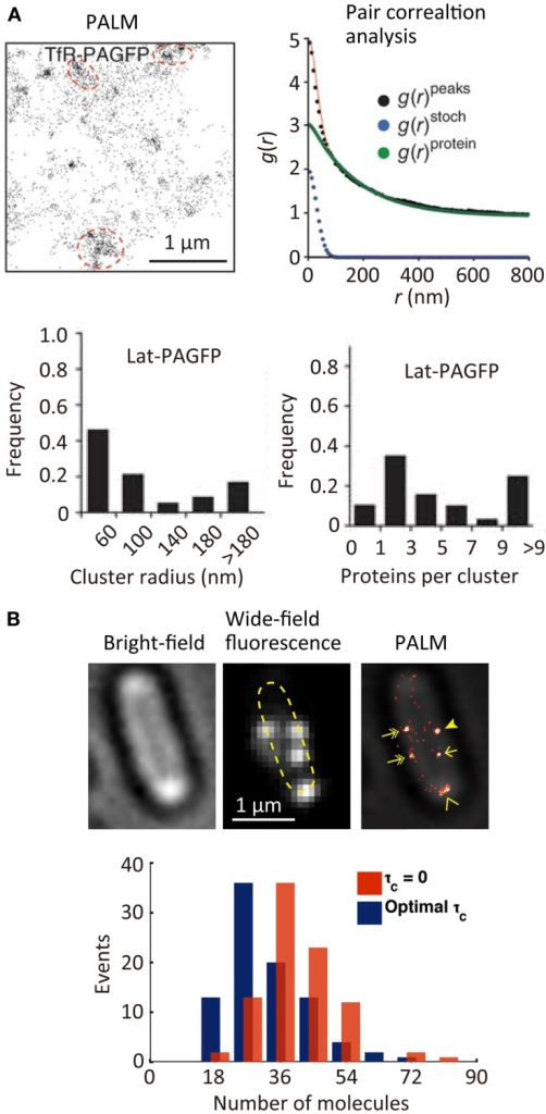 Quantitative super-resolution fluorescence imaging. (A) (Top left) PALM image of transferrin receptor (TfR) across the plasma membrane of COS7 cells. A photoactivatable fluorescent protein PAGFP is fused to TfR; (top right) plot of calculated autocorrelation function [g(r)peaks] of PAGFP molecules in the PALM image. g(r)stoch and g(r)protein are the correlation owing to multiple appearances of a single protein and the protein correlation. The cluster size and average numbers of the molecule in clusters are estimated by a fitting of the autocorrelation plot with an exponential decaying function; (bottom) size and number of molecules in clusters of a transmembrane protein, Lat (Sengupta et al., 2011). (B) (Top) bright-field microscopy, wide-field fluorescence microscopy, and PALM images of a flagellar motor protein, FliM, in bacterial cells. A photoconvertable fluorescent protein Dendra2 is fused to FliM; (bottom) frequency histogram of number of FliM molecules in each cluster determined using the Fermi activation with optimal tolerance time (blue bars). The red bars show the histogram without optimizing the tolerance time (Lee et al., 2012). Reproduced with permission from Sengupta et al. (2011), copyright 2011, Nature Publishing Group (A), and Lee et al. (2012), copyright 2012, National Academy of Science, USA (B).
