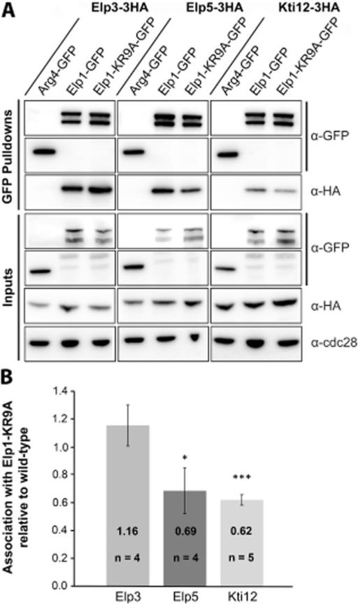 The elp1–KR9A mutation does not disrupt Elongator complex assembly but causes subtle differences in association with Elp5 and Kti12.A. Western blot analysis of inputs and GFP–Trap immunoprecipitates of Elp1–GFP and Elp1–KR9A–GFP from strains expressing HA-tagged Elp3, Elp5 or Kti12. All samples were analysed with anti–GFP and anti-HA. Input samples were also analysed using anti-Cdc28 as a loading control. Arg4–GFP was confirmed to have similar pulldown efficiency to Elp1–GFP and was used as a control to demonstrate that interaction between Elp1 and the various HA tagged complex members was specific. All pulldown samples were analysed from the same blot. It should be noted that Elp1 is always observed by Western blot analysis as both a full-length and a faster migrating form (truncated at its N-terminus) that may be a degradation product or serve an as yet unknown function (Fichtner et al., 2003).B. Quantification of co-immunoprecipitation efficiency. Immunoprecipitation of HA-tagged proteins was quantified by densitometry of the HA tag signals and normalized using the Elp1–GFP signals across the indicated number of replicates (n), setting the value for the wild-type strain in each case to 1.0. Error bars represent the standard deviation of the mean and the significance of the differences was analysed using a one way ANOVA, with '*' indicating a P-value of < 0.05 (significant) and '***' indicating a P-value of < 0.001 (very highly significant). Any small differences in Elp3 association were not statistically significant when analysed in this manner.