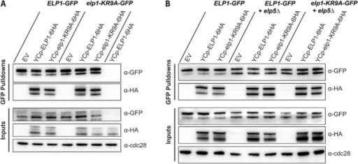 Self-association of Elp1 is unaffected by the elp1–KR9A mutation and is independent of the assembly of the Elp4–6 hexamer.A. Western blot analysis of inputs and GFP–Trap immunoprecipitates of Elp1–GFP and Elp1–KR9A–GFP from strains containing empty vector (EV), YCplac111–ELP1–6HA or YCplac111–elp1–KR9A–6HA expressing HA-tagged wild-type or mutant Elp1 respectively. All samples were analysed by Western blotting with anti–GFP and anti-HA. Inputs were also analysed using anti-Cdc28 as a loading control.B. Western blot analysis of inputs and GFP–Trap immunoprecipitates of Elp1–GFP and Elp1–KR9A–GFP from strains containing empty vector (EV), YCplac111–ELP1–6HA or YCplac111–elp1–KR9A–6HA expression plasmids either with or without deletion of the ELP5 gene (elp5Δ).