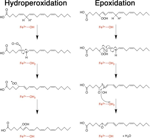 Detailed mechanism ofhydroperoxidation and epoxidation [dehydrationof 5(S)-HpETE to produce the epoxide]. Hydroperoxidationproceeds after initial abstraction of the pro-S hydrogenat C7, whereas epoxidation proceeds after abstraction of the pro-R hydrogen at C10.55 Theantarafacial nature of hydroperoxidation is well-known,31,47,79 while a suprafacial arrangementfor epoxidation was postulated by Jin et al.34