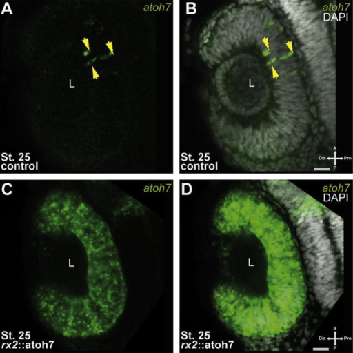 Homogenous atoh7 expression in early RPCs. (A–D) Whole mount fluorescent in situ hybridization, green: atoh7 mRNA, grey: DAPI nuclear labeling (A–B) wild type, (C–D) rx2:atoh7; scale bar 20 μm. Note the early homogeneous atoh7 expression in rx2::atoh7 embryos, compared to the atoh7 expressing cells restricted to the central optic cup of controls (arrows in A–B).