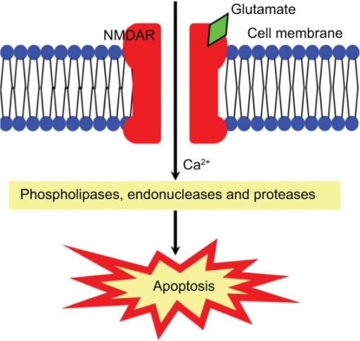 Excitotoxicity induced by excess glutamate.Notes: Extensive stimulation of NMDARs by glutamate leads to high level of Ca2+ to enter the cell, activating enzymes including phospholipases, endonucleases, and proteases. These enzymes may lead to apoptosis of the cell.Abbreviation: NMDAR, N-methyl-D-aspartic acid receptor.