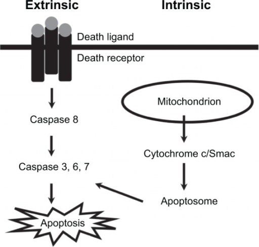 Molecular mechanisms of apoptotic cell death.Notes: There are two major pathways, extrinsic and intrinsic, that are responsible for apoptotic cell death. The extrinsic pathway is initiated by binding between death ligand and death receptor, while the intrinsic pathway is initiated by efflux of cytochrome c from mitochondria. The activation of these two apoptotic pathways leads to activation of downstream effectors of apoptosis caspases 3, 6, and 7.Abbreviation: Smac, second mitochondria-derived activator of caspases.