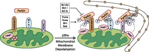 Parkin recruitment to depolarized mitochondria promotes their degradation by mitophagy. In polarized mitochondria, PINK1 is degraded in the mitochondrial matrix (left), but upon membrane depolarization, PINK1 is stabilized and accumulates at the OMM, where it phosphorylates Mfn-2 and other substrates, including ubiquitin, that act as receptors for Parkin. Once Parkin is recruited to the OMM, it ubiquitinates key protein substrates including VDAC1 and Mfn-2, and other possibly unknown targets (substrate X). Parkin-dependent ubiquitination of VDAC1 and other mitochondrial proteins promotes interaction with p62/Sqstm1 that in turn facilitates interaction with LC3 at nascent phagophores thereby targeting depolarized mitochondria for degradation by autophagy.