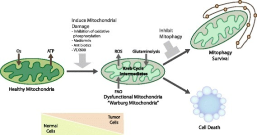 Strategies to target mitophagy for cancer therapy. Tumor cells are likely to be more dependent on functional mitophagy than normal cells due the increased requirement to manage ROS levels, due to dependence on key aspects of mitochondrial metabolism, such as glutaminolysis, particularly given the ischemic nature of advanced macroscopic tumors. Such a dependence on mitophagy could be exploited therapeutically by the development of specific small molecule inhibitors of mitophagy that could be combined with other drugs that induce mitochondrial dysfunction, such as respiratory inhibitors or antibiotics, to further increase the requirement for functional mitophagy.