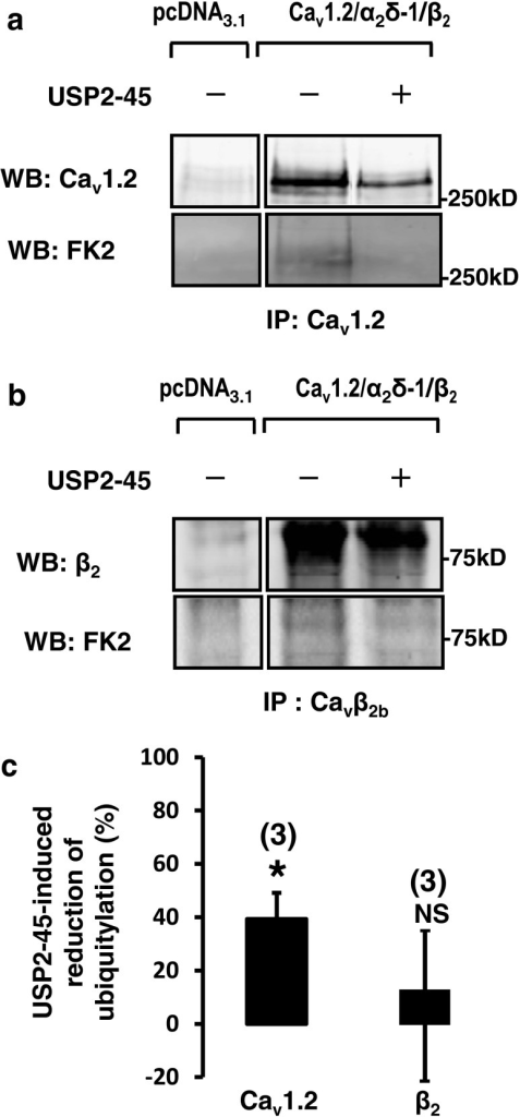 De-ubiquitylation of immunoprecipitated Cav1.2 by USP2-45. a Immunoprecipitation of Cav1.2 and b β2 subunits. Western blots were performed to confirm the purification of Cav subunits from HEK-293 cells, whilst anti-ubiquitin FK2 antibodies were used to detect the ubiquitylated channels. Control experiments show that Cav1.2 and β2 are tonically ubiquitylated. cBar graph showing that USP2-45 decreased the ubiquitylation level of Cav1.2, but not β2 subunits. The intensity of the FK2 signal was normalized to take in account the reduction Cav protein (i.e. dividing by the intensity of the signal obtained with the corresponding Cav antibody), and the effect of USP2-45 was expressed as a percentage of change from the control value