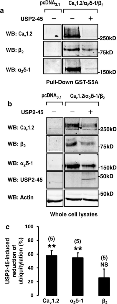 USP2-45-induced de-ubiquitylation of Cav1.2 and α2δ-1 subunits. a Western blots showing the reduction of total Cav1.2, β2 and Cavα2δ-1 proteins in HEK-293 whole-cell lysates used for b pull down of ubiquitylated channels using ubiquitin binding GST-S5A (n = 5). Note that USP2-45 appears to reduce further the amount of Cav1.2 and α2δ-1 subunits recovered in the pull-down assay. cBar graph comparing the effect of USP2-45 on the ubiquitylation of the three different Cav subunits. To illustrate that the decrease in ubiquitylation of Cav1.2 and α2δ-1 cannot be solely explained by the concomitant reduction in total Cav proteins, the intensity of each protein bands recovered by pull-down assays (shown in b) was divided by the intensity of the corresponding band in whole-cell lysates (ubiquitylated and non-ubiquitylated proteins shown in a). The data was expressed as a percentage change of this ratio relative to control. USP2-45 significantly decreased the ubiquitylation of Cav1.2 and α2δ-1 but not β2 subunits. The number of experiments is indicated in parentheses. NS non-significant. ***p < 0.001 when compared with control