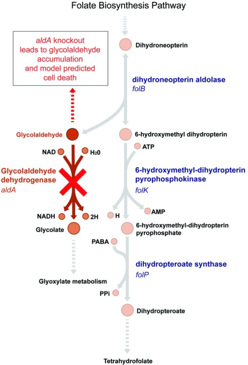 The model-predicted essential pathway catalyzed by AldA. Glycolaldehyde is a by-product of the essential tetrahydrofolate synthesis pathway in Escherichia coli. It is produced by dihydroneopterin aldolase, encoded by the gene folB. The aldA gene encodes glycolaldehyde dehydrogenase, which oxidizes glycolaldehyde to glycolate. In an ΔaldA knockout strain, the E. coli metabolic model predicts that glycolaldehyde will accumulate in the cell, leading to cell death (Orth et al., 2011). Experimentally, however, ΔaldA mutants are viable.