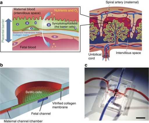 Microfluidic device for placental transfer analysis.(a) Schematic representation of the human placental barrier. In the placenta, maternal blood comes from the spiral artery and flows into intervillous space, into which placental villi carrying fetal blood capillaries project. Syncytiotrophoblasts, the placental barrier cells that cover the placental villi, develop a microvillar surface and function as a permeable barrier between maternal and fetal blood circulation. (b) Design of the microfluidic device for human placental transfer. PDMS microchannels (width, 1 mm; height, 200 μm) that correspond to maternal and fetal blood circulation are assembled with a vitrified collagen (VC) membrane and covalently bonded by O2 plasma treatment. The maternal microchannel has a chamber structure (φ=4 mm) that mimics the wide blood space of the intervillous space. (c) Fabricated PDMS device. Maternal and fetal channels were visualized by infusing red (maternal) and blue (fetal) ink. The material transfer between the microchannels was designed to only occur through the cell layer cultured on the VC membrane. Scale bar, 1 cm.