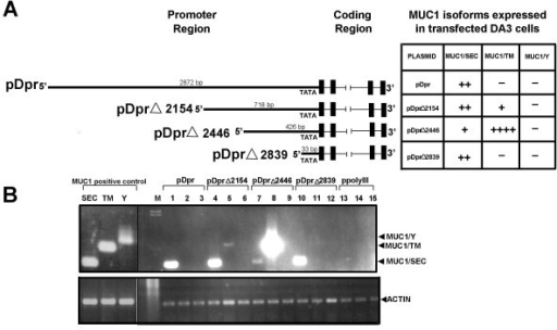 Expression of the MUC1 isoform specific mRNA in mouse DA3 cells transfected with plasmids pDpr, pDprΔ2154, pDprΔ2446, pDprΔ2839 and ppolyIII. DA3 cells were transfected with plasmid DNA. Cells transfected with ppolyIII were used as negative controls. DA3 cells stably transfected with MUC1/SEC, MUC1/TM and MUC1/Y cDNA were used as positive control. Total RNA was extracted 48 hrs after transfection and cDNA was synthesized. PCR amplification of MUC1 isoform specific fragments were performed using isoform specific primers. PCR products were separated by electrophoresis on 1.2% agarose gel and stained with ethidium bromide. A – Schematic structure of the pDpr, pDprΔ2154, pDprΔ2446, pDprΔ2839 plasmids and the table of the MUC1/SEC, MUC1/TM and MUC1/Y mRNA expression in transfected DA3 cells. B – RT-PCR of the MUC1 isoform specific RNA extracted from DA3 cells transiently transfected with indicated plasmids. Lane M-DNA marker; lanes 1, 4, 7, 10 and 13 (negative control) – PCR performed with MUC1/SEC specific primers; lanes 2, 5, 8, 11 and 14 (negative control) – PCR performed with MUC1/TM specific primers; lanes 3, 6, 9, 12 and 15 (negative control) – PCR performed with MUC1/Y specific primers. Positive control: DA3 cells stably transfected with MUC1 isoform specific cDNA. Lane SEC – cells expressed MUC1/SEC; lane TM – cells expressed MUC1/TM and lane Y – cells expressed MUC1/Y RNAs.