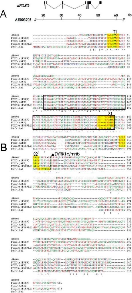 "dFOXO encodes a protein that retains importantfunctional domains found in other FOXO homologues. (A) Schematicrepresentation of the dFOXO cDNA clone LD05569 and its locationin the genomic scaffolding, region AE003703, of the BDGP sequence.(B) ClustalW alignment of the proposed dFOXO amino acid sequencewith that of mammalian homologues (FOXO1a, FOXO3a, and FOXO4) andDaf-16a1. Highlighted are: the T1, S1, and S2 Akt target sequences(yellow shading); the potential DYRK1a/mnb phosphorylation site(arrow, and grey shading); and the forkhead box DNA binding domain (blackbox). ""*"" indicates nucleotides that are identical in all sequencesin the alignment, "":"" indicates conserved substitutions, accordingto the chemical nature of the amino acids, and ""."" indicates semi-conservedsubstitutions. Colors indicate the chemical nature of the aminoacid; Red = small hydrophobic (including aromatic), Blue = Acidic,Magenta = Basic, and Green = basic amino acids with hydroxyl groupsand/or amine groups."