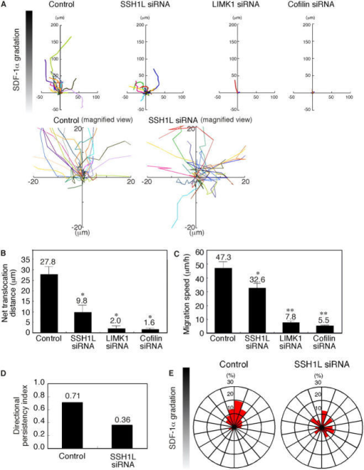 Effect of SSH1L, LIMK1, or cofilin siRNA on SDF-1α–induced T cell chemotaxis in Dunn chambers. Jurkat cells were transfected with siRNA plasmids for SSH1L, LIMK1, cofilin, or empty plasmid (control) and were analyzed for their ability to migrate in an SDF-1α gradient in the Dunn chamber during a 50-min period. (A) The migration paths of 30 randomly chosen cells were traced for 50 min. The intersection of the x and y axes was taken to be the starting point of each cell path, whereas the source of SDF-1α was at the top. Magnified views of the paths of control cells and SSH1L siRNA cells are also shown. (B) The net translocation distance (straight distance from the start to the end point) of each cell over the 50-min period is shown as the mean ± SEM (error bars) of the paths of 50 randomly chosen cells. *, P < 0.01 compared with control cells. (C) The migration speed (total length of the migration path per hour) of each cell is shown as the mean ± SEM of the paths of 50 randomly chosen cells. *, P < 0.05; **, P < 0.01 compared with control cells. (D) The directional persistency index (the ratio of the net translocation distance to the cumulative length of migration path) of control and SSH1L siRNA cells. (E) Circular histograms showing the percentage of cells whose final position was located within each of 18 equal sectors (20°). The source of SDF-1α was at the top. Data from control and SSH1L siRNA cells are shown.