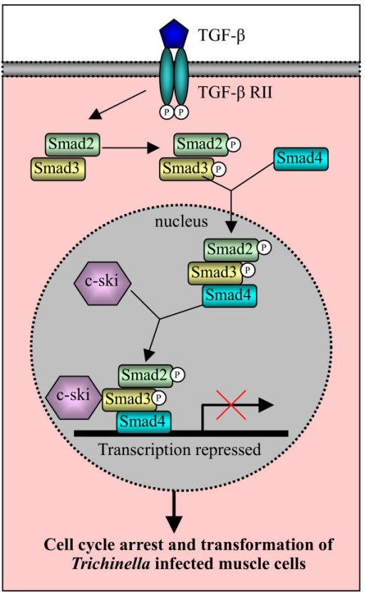 Schematic illustration of the involvement of c-Ski and TGF-β signaling pathway in nurse cell formation. Binding of TGF-β by the type II receptor on the cell surface initiates a cascade of signaling events. Activated type I receptor phosphorylates Smad2 and Smad3 in the cytoplasm, which forms a complex with Smad4. The Smad2/3/4 complex moves to the nucleus and functionally collaborates with distinct transcription factors to turn on or off transcription of many TGF-β-responsive genes. C-Ski acts as a co-repressor to turn off the transcription, which results in the cell cycle arrest and transformation of Trichinella infected muscle cells. This figure referred the review by Shi and Massague [97].