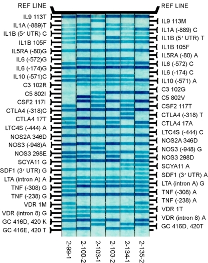 Representative linear array results for Strip 1 for samples from six Tharu individuals from a trachoma endemic area of Nepal.Bands represent wild type and SNP probes (see methods). Strip 1 contains 25 SNPs. Strip 2 contains 26 SNPs (not shown). To the left and right of the probes are the names of the alleles; horizontal blur lines represent amplified alleles.