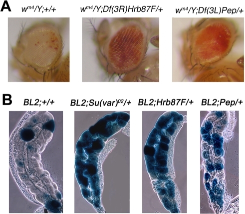 Hrb87F and Pep are dominant suppressors of position effect variegation (PEV).(A) In flies carrying the In(1)wm4 rearrangement and deficiencies for either Hrb87F or Pep, the eyes are significantly more pigmented than in flies carrying only the chromosome inversion. Hrb87FKG02089 and PepKG00294 mutations could not be tested because these mutations are caused by insertions containing a functionally wild type white gene. (B) Heat-shock lac-Z induction in salivary glands of Tp(3;Y)BL2 larvae which were also either wild type or heterozygous for Su(var)2–502, Hrb87FKG02089, Df(Hrb87F), PepKG00294, PepEP(3)3357, PepEP(3)0408, or Df(Pep). The panel shows examples of staining patterns observed: in all heterozygous mutant larvae the glands stained more heavily than those of wild type larvae.