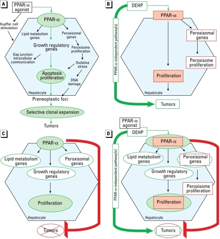 "(A) Hypothesized PPAR-α activation MOA as posited by Klaunig et al. (2003), with proposed ""causal"" events identified in green. (B) Is PPAR-α activation essential for DEHP carcinogenesis? Red outlines represent key events in the hypothesized PPAR-α activation MOA that were not induced by DEHP in PPAR-α– mice despite the occurrence of tumors (Ito et al. 2007a; Ward et al. 1998). Proposed causal events are shaded pink. These key events are therefore not necessary for tumors, suggesting PPAR-α–independent pathways for DEHP hepatocarcinogenesis. (C) Is PPAR-α activation alone sufficient for carcinogenesis? In the Yang et al. (2007) LAP-VP16PPAR-α transgenic model of constitutive PPAR-α activation in hepatocytes, the key events in the hypothesized PPAR-α activation MOA (green outlines), but not tumors, are induced at 11 months. Proposed causal events in the MOA are shaded light green. Wy-14,643 exposure in wild-type mice induces tumors at 11 months with comparable levels of hepatocyte proliferation and other proposed key events. This raises questions about whether PPAR-α activation and hepatocyte proliferation can alone cause tumors, and suggests that the sequence of key events in the hypothesized MOA is not solely sufficient to evoke carcinogenesis. (D) Revisiting the PPAR-α activation MOA. DEHP is hepatocarcinogenic in PPAR-α– mice in which the red-outlined key events are absent (Ito et al. 2007a; Ward et al. 1998), whereas, the green-outlined key events, but not tumors, are induced at 11 months in the LAP-VP16PPAR-α transgenic model (Yang et al. 2007). Proposed causal events are shaded light green. Taken together, these findings support the view that the hypothesized PPAR-α activation MOA is neither necessary nor sufficient for hepatocarcinogenesis as a sole causative factor."