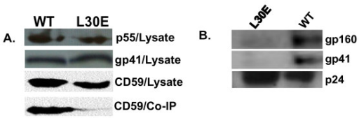 A. L30E Gag confers defective association of Env with CD59-enriched membranes in primary CD4+ T cells. Primary CD4+ T cells infected with VSV-G pseudotyped pNL4.3 and pNL4.3 (L30E) were lyzed and intracellular p55, gp41 and CD59 contents were measured in total cell lysates (as shown here in upper panels). Cell lysates expressing comparable p55 and gp41 were immunoprecipitated with gp41 antibodies 2F5 and 4E10 as described in the Materials and Methods resolved in 12.5% SDS-PAGE and electrophoretically transferred onto PVDF membrane. The level of CD59 co-immunoprecipitated with envelope was detected by Western blotting using monoclonal anti-CD59 antibody. B. Defective incorporation of HIV-1 envelope proteins onto virus particles due to L30E Gag substitution. Equal amounts of cell free virus particles were resolved in SDS-PAGE and Western blotting done by monoclonal antibodies to gp41 and p24 as described in the text. Note that with L30E gag mutation, envelope incorporation onto virions is severely abrogated.