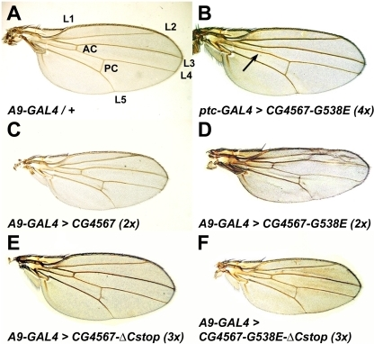 Expression of mutant EF-G1 forms reduces growth and affects patterning in wings.(A) Heterozygous A9-GAL4/+ female wing with wild type patterning. Longitudinal veins L1-L5 and the anterior and posterior crossveins are indicated (AC, PC). (B) Wings that express four CG4567-G538E transgenes encoding the EF-G1 protein of II032 mutants with ptc-GAL4 show normal proportions but exhibit reduced growth between L3 and L4 where the mutant protein is expressed. They also lack the anterior crossvein (arrow). (C) Overexpression of two wild type ico transgenes in wings using A9-GAL4 does not affect patterning but results in smaller wings. (D) In comparison, ubiquitous expression of two CG4567-G538E transgenes reduces growth and interferes with proper vein formation. (E) Expression of three EF-G1 transgenes that lack the C-terminal tail has no apparent effects on growth or patterning. (F) Compared to two full-length mutant transgenes (D), expression of three tailless mutant CG4567-G538E transgenes results in no major pattern defects but reduces the size of wings.