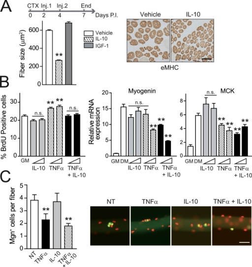 Forced premature expression of the antiinflammatory cytokine IL-10 impairs normal muscle repair. (A) Recombinant IL-10 or IGF-1 (used as a control) was injected twice during the early stages of regeneration after CTX injury (Inj.). 7-d injured gastrocnemius muscles obtained from vehicle-treated mice or mice treated with IL-10 at 7 d postinjury (P.I.) were stained with an anti-eMHC antibody, and the mean area of regenerating myofibers was calculated. Bar, 50 µm. (B) WT satellite cells were cultured in GM for 24 h with 10 ng/ml IL-10, 30 ng/ml TNF, or a combination of both. (left) Cells were incubated for 1 h with BrdU, and positive cells were quantified. (right) Satellite cells were cultured in DM for 48 h with the same treatment, and Myogenin and MCK expression was analyzed. (C) Single myofibers, with their associated satellite cells, isolated from mouse muscles were cultured ex vivo in GM as in B for 72 h. Satellite cells were stained for Myogenin (Mgn; green) and TO-PRO-3 (red), and the number of positive cells in each fiber was counted. Bar, 100 µm. NT, nontreated cells. Means ± SEM of at least three experiments. **, P < 0.01.