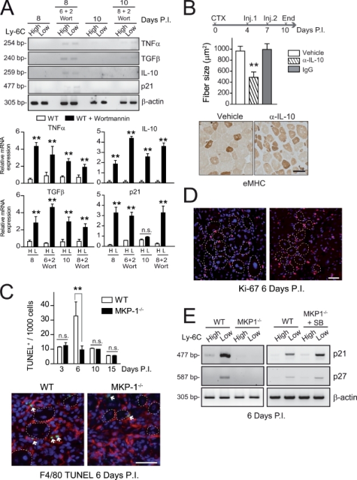 Transient PI3K–AKT inhibition in WT macrophages maintains cytokine expression and prevents cytokine silencing at late stages of the tissue repair process. (A) Gene analysis by RT-PCR in FACS-isolated macrophage populations at 8 and 10 d after injury from mice treated with wortmannin (Wort) or vehicle for the preceding 2 d. (B) Anti–IL-10 neutralizing antibody was injected twice during the later stages of muscle regeneration after CTX injury (Inj.), and muscles were isolated at day 8 and 10 postinjury (P.I.) and processed as in Fig. 4 A. IgG was used as a control. An outline of the experiment is depicted. (C, top) Apoptotic F4/80-expressing macrophages were assessed by TUNEL staining. (bottom) CTX-injured gastrocnemius muscle from WT and MKP-1−/−: F480 (red), TUNEL (green), and DAPI (blue). Regenerating fibers are indicated by dotted lines. Apoptotic nuclei are indicated by arrows. (D) Cell proliferation was assessed by Ki-67 staining as in C: Ki-67 (red) and DAPI (blue). (E) Expression of p21, p27, and β-actin (as a loading control) was analyzed by RT-PCR in FACS-isolated macrophage populations at 6 d after injury as in Fig. 3 A. Means ± SEM of at least three experiments. **, P < 0.01. Bars, 50 µm.