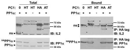 Immunoprecipitation of PC1 truncation proteins.To determine the region of PC1 responsible for interacting with PP1α, various IL2-PC1 fusion proteins were tested for their ability to co-immunoprecipitate with PP1α. The HA74 region of PC1 contains the putative PP1-binding motif, but lacks the coiled-coil domain. The AT120 region of PC1 lacks the putative PP1-binding motif, but contains the coiled-coil domain. Cell lysates from transfected 293T cells were immunoprecipitated and immunoblotted as described in Figure 2. Additional replicates of this experiment can be seen in Figures S3. ns  =  non-specific band.