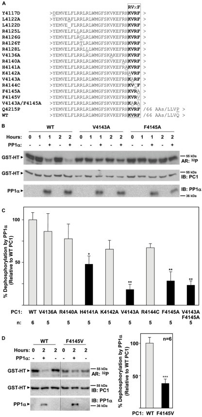 Mutations within the RVxF motif prevent dephosphorylation of PC1 by PP1α.To determine whether mutations in the RVxF motif affect the ability of PP1α to dephosphorylate PC1, GST-HT193 fusion proteins with point mutations within and around this motif and GST-HA74 were analyzed in an in vitro kinase/phosphatase assay as described in Figure 4. The amount of phosphorylated protein (relative to input material at the start of the reaction) remaining after 2 h in the presence or absence of PP1α was determined by autoradiography and immunoblotting. Following detection of the fusion proteins, membranes were stripped and re-probed for the presence of PP1α. (A) Sequence of wild type (WT), and mutant RVxF constructs of PC1. The primary amino acid sequence spanning the various sites of mutagenesis is shown. The identity of the mutated residue is shown at left and underlined in the primary sequence. The RVxF motif is in bold. (B) Representative autoradiographs and immunoblots showing phosphorylation and total protein levels of GST-HT193 WT, V4143A, and F4145A PC1 fusion proteins. (C) Summary of the effects of PC1 mutations on PP1α-mediated dephosphorylation of PC1. On average, approximately 67% of WT input material was dephosphorylated over the 2 h assay period. Data (mean ± SE) represent the percent dephosphorylation of PC1 constructs by PP1α, relative to dephosphorylation of WT PC1 (set to 100%). n = 6 for WT and n = 5 for mutant constructs. *P<0.05 and **P<0.01, compared to the effect of PP1α on WT PC1, determined by one-way ANOVA and the Dunnett multiple comparison post-test. Representative autoradiographs and immunoblots for GST-HT193 V4136A, R4140A, H4141A, K4142A, R4144C, and V4143A/F4145A are shown in Figure S4A. Representative autoradiographs and immunoblots for additional mutants which lacked obvious defects in PP1α dephosphorylation are shown in Figure S4B. (D) Summary and representative autoradiographs and immunoblots showing phosphorylation and total protein levels of GST-HT193 WT and F4145V PC1 fusion proteins. Data (mean ± SE) represent the percent dephosphorylation of PC1 constructs by PP1α, relative to dephosphorylation of WT PC1 (set to 100%). n = 6 for WT and F4145V. ***P<0.001, compared to the effect of PP1α on WT PC1, determined by unpaired t test.