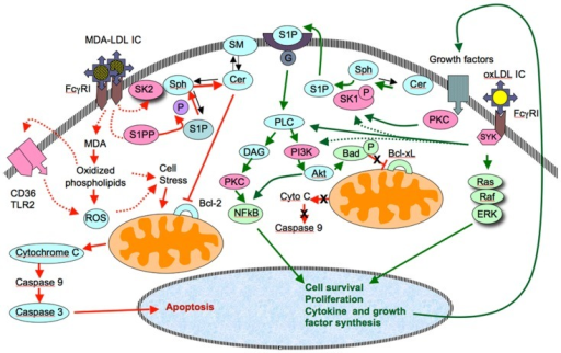 Comparison of the pathways responsible for the anti-apoptotic and pro-apoptotic effects of immune complexes containing oxidized LDL (oxLDL-IC) and malondialdehyde-modified LDL (MDA-LDL-IC). OxLDL-IC activate cell proliferation pathways through Syk, a pathway that leads to activation of Akt and NFkB. The activation of Akt leads prevents the inactivation of anti-apototic gene products (Bcl-xL in the diagram). S1P-mediated activation of Akt and proliferation genes has been suggested by previously published data from our group (Hammad et al., 2006). This could result from the direct activation of SK1 by Syk, or as a consequence of the release of growth factors, upon ligation of the corresponding receptor, which activate S1k via PKC. As for the pro-apoptotic properties of MDA-LDL-IC, two possible pathways could be involved. One would result from the simultaneous activation of SK2 (whose phosphorylation is less stable than that of SK1) and S1PP. This would result in a reduced generation of S1P, and accumulation of ceramides, which in turn would inhibit anti-apoptotic genes (Bcl-2 in the diagram) and allow the activation of the pro-apoptotic intrinsic pathway. An alternative (and not exclusive) pathway to reach the same effect would involve the degradation of internalized MDA and release of highly charged phospholipids whose interaction with a CD36-TLR2 complex would activate the generation of ROS and increased cellular stress.
