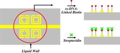 Binding bioprocess of biotin and streptavidin: the liquid wall (red circle) shows the receptacle for liquid solution confinement. The sample was immersed in biotin (red) for 12 h, rinsed, and exposed to streptavidin (green) for 6 h.