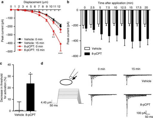 8-pCPT enhances rapidly adapting mechanically evoked currents in large diameter sensory neurons.(a) Stimulus–response curve of rapidly adapting currents evoked by mechanical stimulation before and 15 min after 8-pCPT or vehicle administration (vehicle, n=13; 8-pCPT, n=17). (b) Time course of peak currents evoked by a ~12.5-μm membrane deflection after administration of 8-pCPT into the bath solution. Repeated measures one-way analysis of variance: time, P<0.05; treatment, P>.05; interaction: P<0.01 (n=14). (c) Threshold of activation was determined as mechanical stimulus that elicited a current >20 pA. The decrease in threshold of activation after 8-pCPT was calculated as percentage of baseline thresholds. (d) Representative example of whole-cell voltage clamp traces from a large diameter mouse DRG neuron with a narrow action potential width in response to increasing membrane deformation (holding potential −60 mV) before and after 8-pCPT or vehicle administration. All data are expressed as mean±s.e.m. (a–b) Data were analysed using two-way analysis of variance followed by the Bonferroni post hoc test. (d) Data are analysed by t-test. *P<0.05, **P<0.01, ***P<0.001.