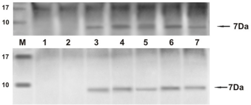 E5 immunoprecipitation.The presence of E5 protein detected by immunoprecipitation. a) Lanes 1–2: urinary bladders from healthy cows. Lanes 3–7: five tumors of the urinary bladders in cows. b) Lanes 1–2: urinary bladders from healthy buffaloes. Lanes 3–7: five tumors of the urinary bladders in buffaloes.