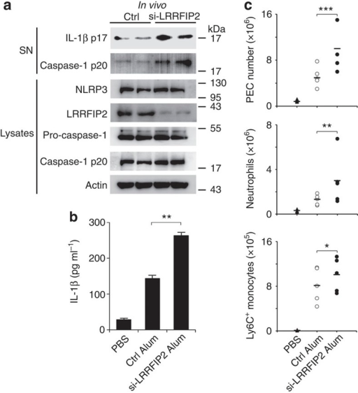 LRRFIP2 suppresses Alum-induced peritonitis in vivo.(a) Immunoblot analysis with indicated antibodies of PECs recovered 12 h after alum injection from LRRFIP2-silenced mice and control (Ctrl) mice (n=5–7). (b) IL-1β content in the lavage fluid 8 h after alum injection from LRRFIP2-silenced mice and Ctrl mice (n=5–7). **P=0.0074 (two-tailed Student's t-test). (c) Inflammatory cell subset analysis by flow cytometry of PECs recovered 12 h after alum injection (n=5). *P=0.0282; **P=0.0029; ***P=0.0038 (analysis of variance). Data shown are representative of three separate experiments (a,c) or are means±s.e.m. of three independent experiments (b).