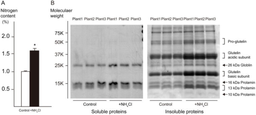 Analysis of proteins in polished rice from incubator cultivated plants.Three independent plants were selected from the N-fertilized and control plots. (A) Nitrogen content of polished rice was determined using a Rapid-N analyzer. Error bars represent standard deviation (SD; *P<0.001) (B) Protein composition of polished rice was analyzed using SDS-PAGE. Soluble proteins and insoluble proteins were extracted sequentially from the same sample. Major storage proteins in rice seed were extracted as insoluble proteins, as indicated at the right side of the gel.