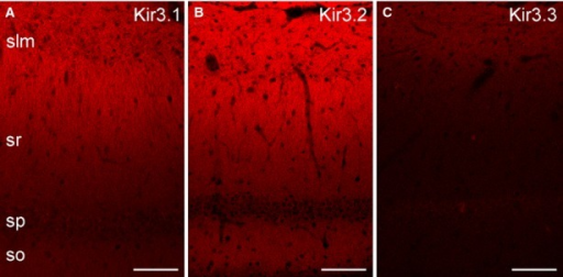 Distributions of three different Kir3 subunits in the CA1 region of rat hippocampus. (A) Immunofluorescent reaction for the Kir3.1 subunit shows a modest labelling in SO and in the proximal part of SR with a gradual increase towards the distal part of the SR and SLM. (B) Similar labelling pattern is observed for the Kir3.2 subunit, with the most intense immunolabelling in the distal part of the SR and SLM. (C) The CA1 area shows weak immunoreactivity for the Kir3.3 subunit, but the intensity of the signal increases toward the distal SR and SLM. Scale bars, 100 μm (A–C).