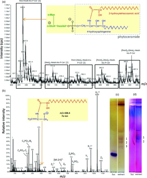 Mass spectrometric and thin-layer chromatographic analysis of Rosa glycosylinositol phosphorylceramides (GIPCs). (a) ESI-MS analysis of GIPC extract from Rosa cell culture. The spectrum was acquired in the negative ion mode. Abbreviations: Hex, hexose residue (probably α-mannose); HexA, hexuronic acid residue (probably α-glucuronic acid); Pent, pentose residue; Ins, myo-inositol; P, phosphate; Cer, phytoceramide. Inset: proposed structure of the predominant GIPC species; phytoceramide moiety in grey box. (b) ESI-MS/MS (collision-induced dissociation spectrum) analysis of the predominant Hex-HexA-Ins-P-Cer peak seen in (a) as the [M-2H]2− ion at m/z 630. Nitrogen was used as collision gas in a Q-TRAP instrument, with the collision energy set to −40 eV. The standard nomenclature for glycolipid fragmentation has been applied (Costello and Vath, 1990; Levery et al., 2001). Inset: proposed identity of the ion at m/z = 438.4, indicating an h24:0 ceramide moiety. (c, d) Thin-layer chromatography (TLC) of GIPC extract. Lipids were chromatographed in CHCl3/CH3OH/4 m NH4OH (9:7:2, by vol.) with 0.2 m ammonium acetate (Kaul and Lester, 1978) and located by orcinol reagent (c) or periodic acid–Schiff staining (d). Lipid bands are labelled: 1, Hex-HexA-Ins-P-Cer; 2, (Hex)2-HexA-Ins-P-Cer; 3, Pent-(Hex)2-HexA-Ins-P-Cer.