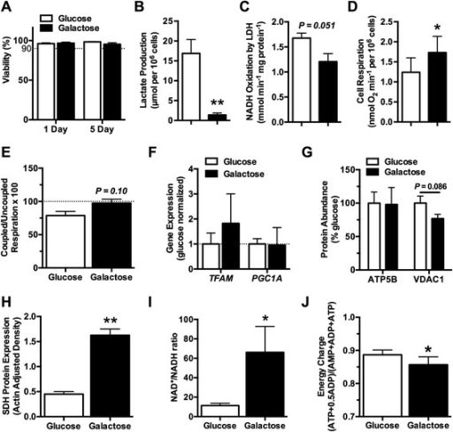 Replacing glucose with galactose reduces glycolysis and upregulates mitochondrial respiration. (A) Cell viability was not altered by 1 or 5 days of galactose culture (n = 6). Five days of galactose culture (B) significantly reduced lactate production (n = 6) and (C) trended toward a decrease in lactate dehydrogenase (LDH) activity (n = 4), indicating a reduction in non-oxidative glycolytic flux. The reduction in glycolysis after 5 days in galactose culture was offset by (D) an increase in the basal rate of cellular oxygen consumption (n = 6), which was associated with a near maximal rate of oxygen consumption, as indicated by (E) the ratio of coupled to uncoupled respiration approaching 100 (n = 4). The increase in mitochondrial respiration did not correspond to (F) an increase in the expression of genetic mediators of mitochondrial biogenesis (TFAM and PGC1A) after 1 day of galactose culture (n = 4) or an (G) increased abundance of mitochondrial proteins (ATP5B and VDAC1) after 5 days in galactose culture (n = 3). (H) However, 5 days of galactose culture significantly increased the expression of the mitochondrial electron transport chain and Krebs cycle enzyme succinate dehydrogenase (SDH) (n = 4). These metabolic changes were not able to maintain cellular metabolic homeostasis after 5 days of galactose culture, as indicated by (I) an increased ratio of NAD+ to NADH (n = 4) and (J) a decrease in the cellular energy charge (n = 3). Bars represent mean ± standard error of the mean. *P <0.05 and **P <0.01 between glucose and galactose.