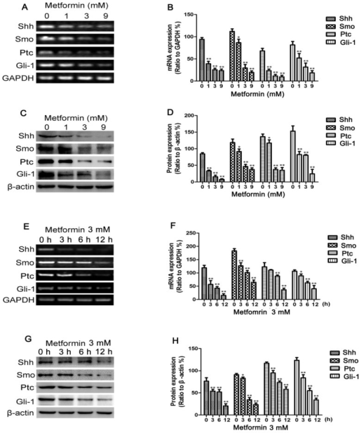 Metformin decreases Sonic hedgehog (Shh), Smo, Patched (Ptc) and Gli-1 expression in MDA-MB-231 cells. MDA-MB-231 cells were treated with metformin at concentrations of 0, 1, 3 or 9 mM for 12 h or with 3 mM of metformin for 0, 3, 6 and 12 h. (A and E) The mRNA levels of Shh, Smo, Ptc and Gli-1 were measured by RT-PCR; GAPDH served as a control. (C and G) The protein levels of Shh, Smo, Ptc and Gli-1 were measured by western blot analysis; β-actin levels were measured as a loading control. Histograms illustrate the (B and F) mRNA levels relative to those of GAPDH and (D and H) protein expression relative to that of β-actin. All data are presented as the means ± SD of 3 independent experiments. *P<0.05 vs. the control group; **P<0.01 vs. the control group.