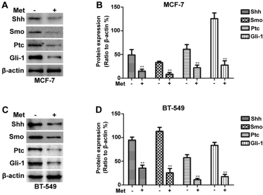 Metformin decreases Sonic hedgehog (Shh), Smo, Patched (Ptc) and Gli-1 expression in MCF-7 and BT-549 cells. (A and C) Western blot analysis was used to detect Shh, Smo, Ptc and Gli-1 expression in the MCF-7 and BT-549 cells. β-actin was used as a loading control. (B and D) Histograms illustrate protein expression relative to that of β-actin. All data are presented as the means ± SD of 3 independent experiments. **P<0.01 vs. the control group.