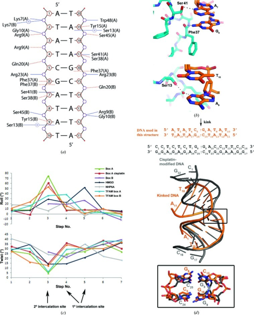 The kinked DNA structure. (a) DNA–box A contacts (NUCPLOT). Hydrogen bonds are shown as solid lines and nonbound contacts are shown as dashed lines. (b) Close-up views of the protein–DNA purine base interactions. Hydrogen bonds from residues Phe37 and Ser41 to base pairs A7 and G6 and a water-mediated hydrogen bond from Ser13 to A9 are shown in the upper and lower diagrams, respectively. (c) Comparison of DNA parameters for HMG-box intercalation sites. The roll and twist angles for box A in this structure were obtained with 3DNA, and those for PDB entries 1ckt (box A, cisplatin; Ohndorf et al., 1999 ▸), 2gzk (box B; Stott et al., 2006 ▸), 1qrv (HMGD; Murphy et al., 1999 ▸), 1j5n (NHP6A; Masse et al., 2002 ▸) and 3tmm (TFAM; Ngo et al., 2011 ▸) were taken from the Nucleic Acids Data Bank (NDB; see also Supplementary Table S2). (d) Superimposition of box A kinked DNA (orange) with cisplatin-modified DNA (grey).