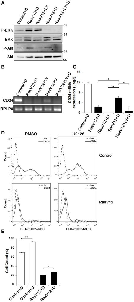 Inhibition of the Raf/MEK/ERK pathway is sufficient to partially restore CD24 mRNA but not protein expression in RasV12 cells. (A–C) RasV12 cells were treated for 16 h with DMSO (D), or U0126 (U) and/or LY294002 (LY). (A) Western blot analysis was performed to detect phosphorylated ERK (P-ERK), and phosphorylated Akt (P-Akt). Total ERK and total Akt were used as loading controls. Molecular mass standards are shown in the right of each image. One representative experiment from three replicates is shown. CD24 mRNA expression in Control and RasV12 cells was determined by (B) RT-PCR and (C) RT-qPCR. RPLP0 was used as the loading and normalization control. Significance was determined by One-Way ANOVA with Tukey Honest Significant Difference post-hoc analysis, *P < 0.05. (D) Surface CD24 protein was determined by flow cytometry with Control or RasV12 cells treated for 24 h as above. One representative histogram of isotype (Iso) and CD24-stained cells is shown. (E) Quantification of CD24 surface protein expression as mean ± s.e.m percentage of CD24+ cells. Significance was determined by student's t-test, n = 4, −P < 0.1; **P < 0.01.