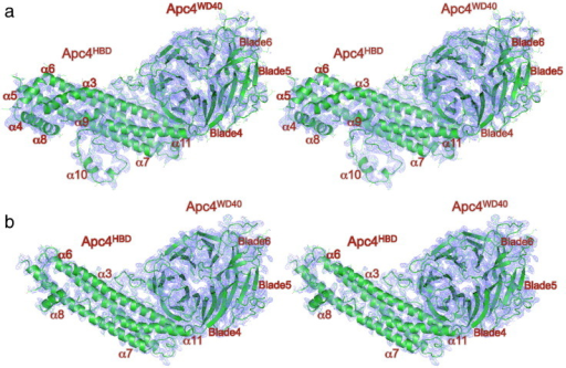 Comparison of EM density maps of APC/CCdh1.Emi1 and crystal structure 2Fo − Fc maps of human Apc4. (a) Stereoview of the EM density map and Apc4 coordinates. Main chain is shown as a cartoon. (b) Stereoview of the 2Fo − Fc density map contoured at 1σ and Apc4 coordinates. Main chain is shown as a cartoon.