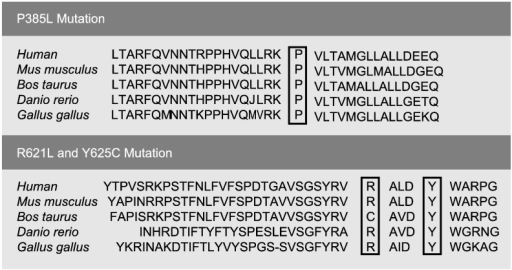 Sequence alignment of the novel missense mutations among species.Alignment of the IDUA protein sequence in five species. The missense mutations Y625C, P385L and R621L occur in highly conserved sites.