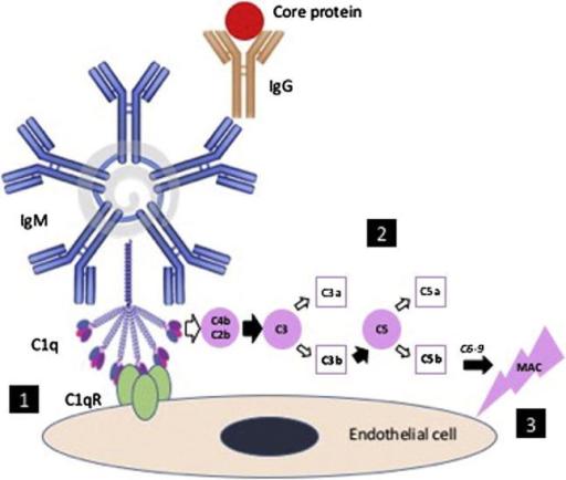 Cryoglobulin. Anti-viral Core-protein IgG Antibodies Pr