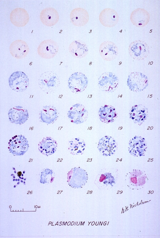 <p>Microscopic views illustrating the stages of growth of a malarial parasite.  (1) A normal red cell; (2-16) trophozoites; (17-26) schizonts; (27, 28) macrogametocytes; (29, 30) microgametocytes.</p>