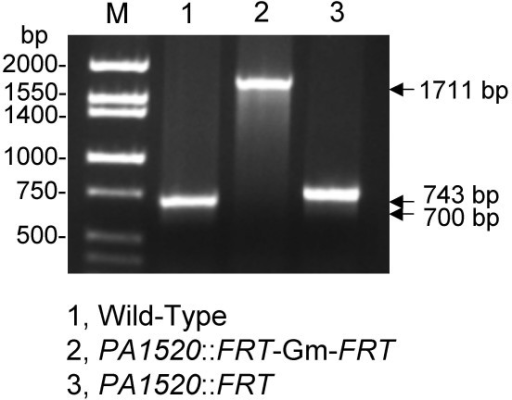 PCR analysis of marked and unmarked P. aeruginosa PA1520 deletion strains. Colony PCR was performed on either wild-type PAO1 and its PA1520 mutant derivatives, either containing a marked (PA1520::FRT-Gm-FRT) or unmarked (PA1520::FRT) PA1520 deletion. The sizes of the expected PCR fragments are indicated. Note that the short deletion removes 41 bp of the PA1520 coding sequence, corresponding to codons 131 to 145, but replaces these sequences with a 85 bp FRT scar. Lane M contained Hi-Lo molecular size markers of the indicated sizes from Minnesota Molecular.