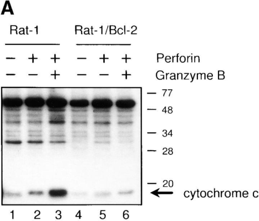 (A) Bcl-2 inhibits the release of cytochrome c into  the cytosol after GraB and perforin treatment. Rat-1 or Rat-1/ Bcl-2 cells were incubated with GraB (2 μg/ml) and perforin  (80 ng/ml) or perforin alone for 1.5 h and then cells were  dounced and S100 cytosol was prepared by high speed centrifugation as described in Materials and Methods. Cytosol fractions  were run on SDS-PAGE and Western blotted with anti–cytochrome c antibody. The experiment was performed twice with  identical results. (B) Cytochrome c release and apoptosis with increasing concentrations of GraB and perforin (80 ng/ml) in  U937, U937/Bcl-2, and U937/Bcl-XL. Cells were counted for  apoptotic nuclei by Hoechst staining and for mitochondrial cytochrome c by immunofluorescence as described in Fig. 5. Results were essentially identical in three experiments taken after 3  or 4 h of incubation. (C) Western blot of cytochrome c release  and (D) caspase 3 processing after GraB and perforin treatment.  At the indicated times after treatment of HeLa cells with GraB  and perforin S100, mitochondrial fractions were prepared as described in Materials and Methods and then Western blotted for  either cytochrome c or caspase 3.