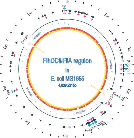 The location and transcription direction of genes in the FlhDC and FliA regulons on the map of the E. coli genome. The outer scale point circle indicates the coordinates in minutes (100 equals intervals of DNA). Blue arrows show the locations and directions of transcription of 53 known flagellar regulon genes. Most of these genes are located in regions I, II and III (i.e. at 24, 42 and 43 min in centisomes, respectively), except three chemotaxis genes trg, aer and tsr, which are at 32, 69, 98 min, respectively. The black arrows show all the genes (117) in FlhDC regulon that were identified by our microarray studies, which include all the previously known flagellar-related genes. The pink arrows show 37 σF-dependent genes identified in our microarray studies. These include all 21 previous known σF-controlled genes in flagellar system. The origin and terminus of replication are shown as yellow lines, with black arrows indicating replichores. The next point circle in light blue gives the scale in base pairs. The inner circle shows ORFs distribution on two complement DNA strands as presented in (24).