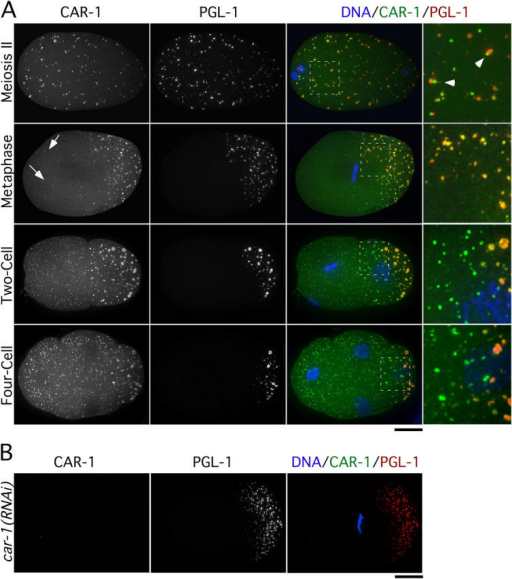 CAR-1 localizes to P-granules and additional smaller cytoplasmic particles. (A) Projected three-dimensional datasets of fixed embryos at the indicated cell cycle stages stained for CAR-1 (left column) and PGL-1 (middle column). Merged images with CAR-1 in green, PGL-1 in red, and DNA in blue also are shown. Panels in the right column are of the boxed area magnified 3× relative to the adjacent images. Arrowheads point to examples of juxtaposed CAR-1– and PGL-1–containing particles during meiosis II. Arrows identify smaller cytoplasmic CAR-1–containing particles that lack PGL-1. Bar, 10 μm. (B) No CAR-1 staining is detected in car-1(RNAi) embryos. Bar, 10 μm.