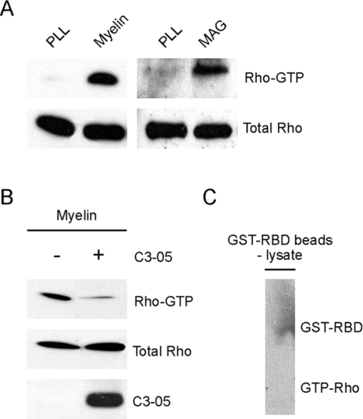 RhoA is activated when cells are plated on growth inhibitory substrates. (A) Rho activation levels were examined in vitro in PC-12 cells plated on either poly-l-lysine, myelin (8 μg), or MAG (8 μg). Active GTP-bound RhoA was isolated by pull-down assay 24 h after the cells were plated on substrates and detected by immunoblotting with anti-RhoA antibody. Total Rho levels were determined from whole cell lysates as shown in the bottom panel. (B) Reversal of Rho activation by treatment of cells with C3–05. PC-12 cells plated on myelin were treated with C3–05 (1 μg/ml), and Rho-GTP levels were detected by pull-down assay. The middle panel shows total Rho levels, and the bottom panel shows whole cell lysates probed with an anti-C3 antibody. Samples for pull-down assays and total Rho and C3 blots were from the same homogenates. (C) Pull-down assay with GST-RBD without lysate. Beads incubated with buffer only show no active Rho; only GST-RBD band is detected when blot is overexposed.