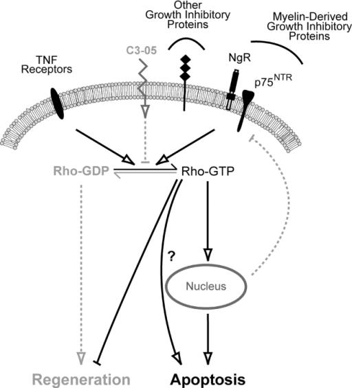 schematic diagram showing possible apoptotic cascade me